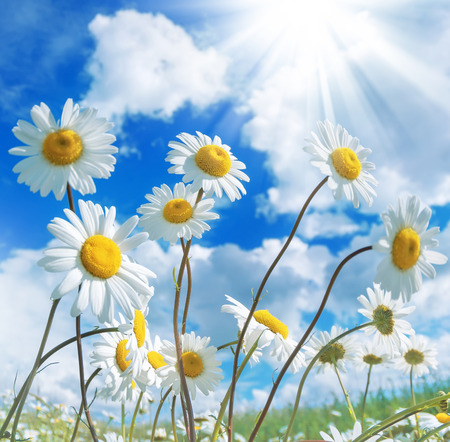 Daisies against a beautiful sky with clouds Standard-Bild