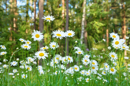 Beautiful daisies with forest in the background photo