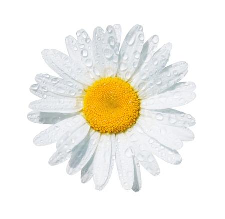 marguerite: Marguerite blanche fleur avec des gouttes de ros�e isol� sur fond blanc Banque d'images