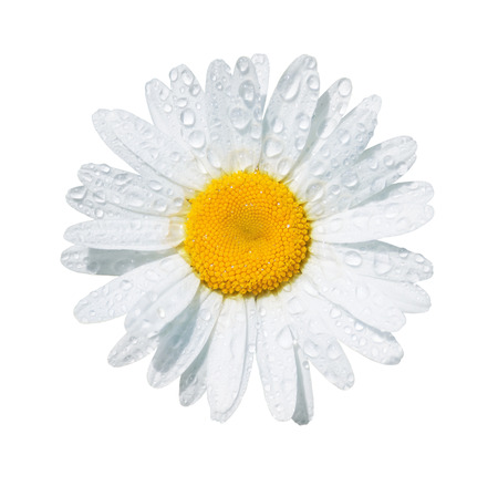 field of daisies: White daisy flower with dew drops isolated on white background