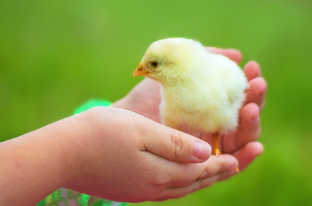 Little beautiful chicken on hands photo
