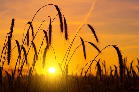 rancho: Oídos del trigo en la salida del sol en rocío de la mañana Foto de archivo