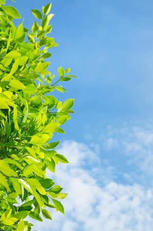 Fresh leaves of bay leaf against the sky