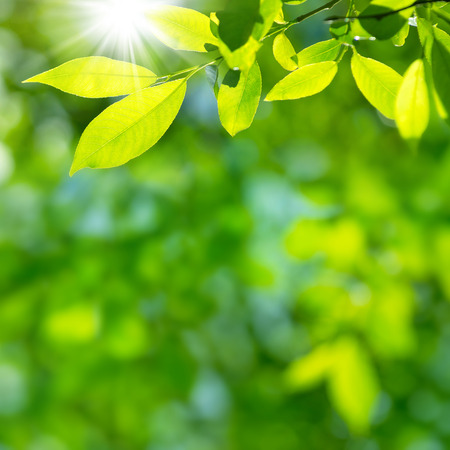 Bright spring natural background from the fresh leaves of willow