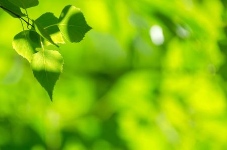自然の明るい背景に白樺の葉