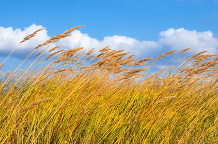 Reed in the strong wind.