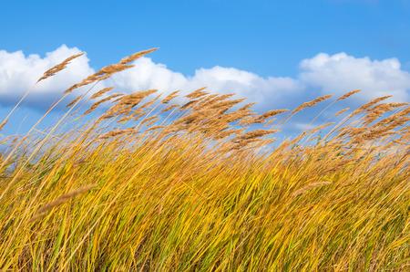 Reed in den starken Wind. Lizenzfreie Bilder