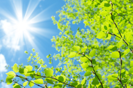 arboleda: Fondo del resorte natural con jóvenes hojas de abedul