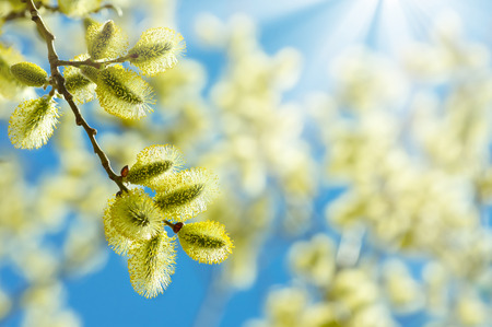 Flowering branch of willow on a background of the sunny sky Stock Photo