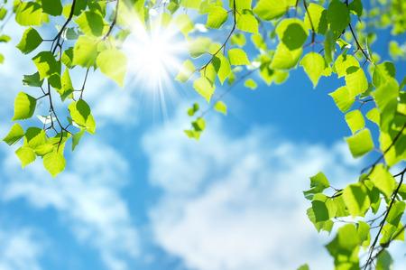 Feder natürlichen Hintergrund mit jungen Birkenblätter Standard-Bild - 40565461