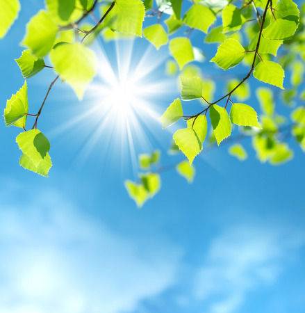 Spring natural background with young birch leaves