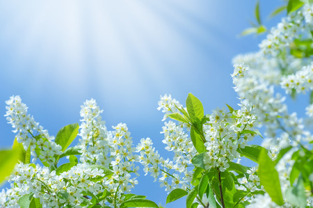 Spring background with the blossoming bird cherry