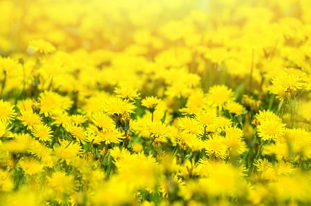 yellow  sun light: The blossoming dandelions in sunshine