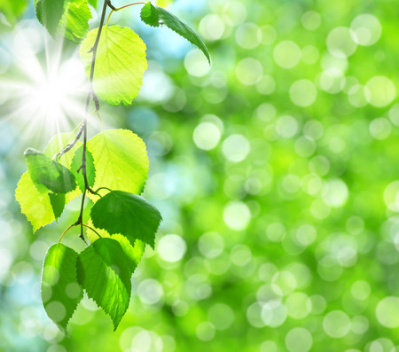 Natural fond de printemps avec des feuilles de bouleau frais