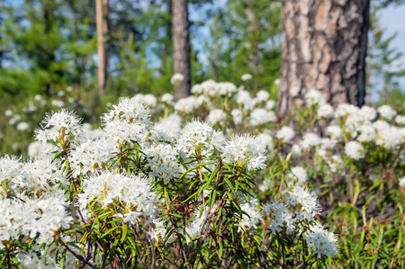 palustre: The blossoming Labrador tea in the solar summer wood