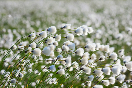strong wind: The plant cotton grass in a strong wind