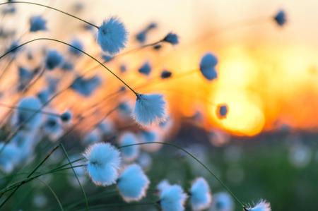 Coton herbe sur un fond de ciel coucher de soleil Banque d'images - 41065072