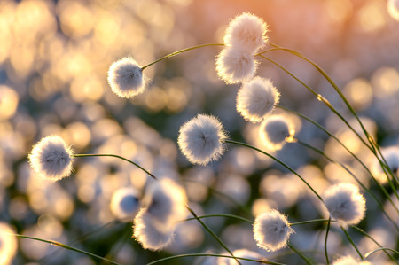 Blooming cotton grass on a background of a colorful sunset