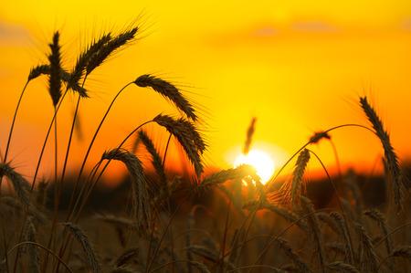 Campo del trigo madurado en una puesta de sol