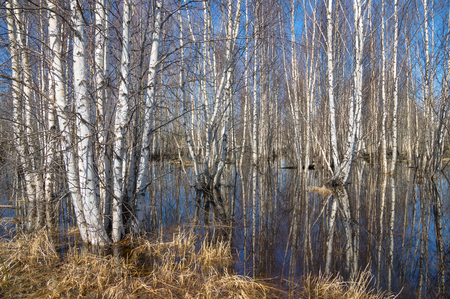 birchwood: Spring landscape. The birchwood is waterlogged by flood waters.