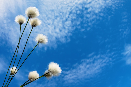 cottonwool: Blooming cotton grass against a blue sky