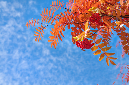 sorbus: Branch of a red mountain ash against the blue sky.