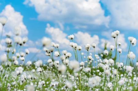 Zomer heldere landschap met bloeiende katoenen gras