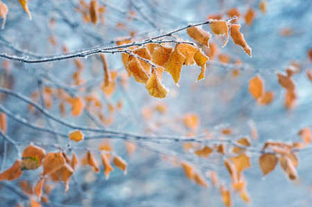branches and leaves: Birch with yellow leaves in frost Stock Photo