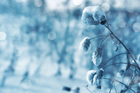 crystal background: Winter background. Thistle plant in the snow. Stock Photo