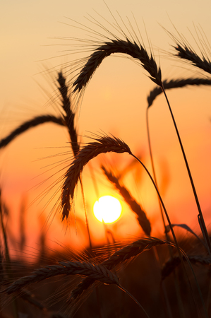 ripened: The ripened wheat ears on a sunset Stock Photo
