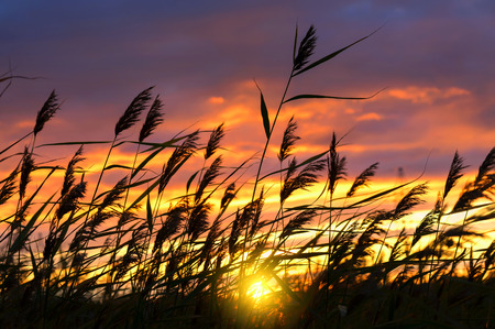 Reed against the background of a dramatic sunset sky