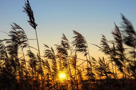 canne: Reed contro il tramonto  Archivio Fotografico