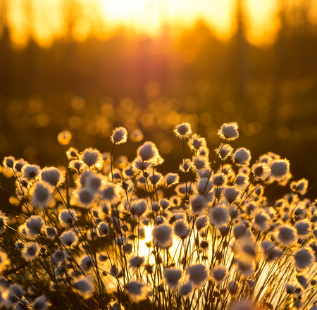 tall: Cotton grass on a background of the sunset sky