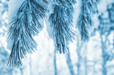 natural beauty: Winter background with snowy pine branches Stock Photo