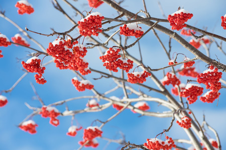 frost covered: Bright red rowan in the snow against the blue sky