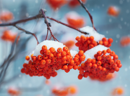 snow and trees: Nature. Bright clusters of a mountain ash in snow. Stock Photo