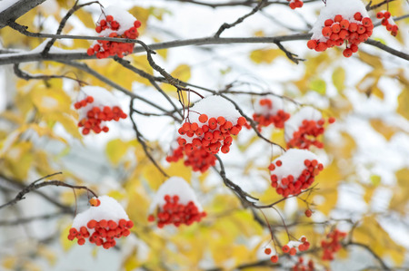 christmas food: Snow-covered mountain ash against yellow leaves
