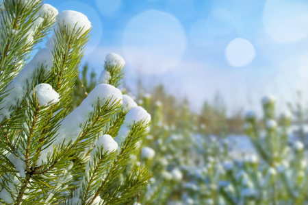 covered in snow: Winter bright landscape with snow-covered coniferous branches Stock Photo