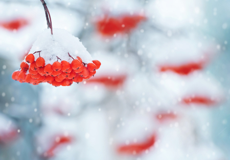 red mountain: Winter background with a cluster of a snow-covered red mountain ash Stock Photo