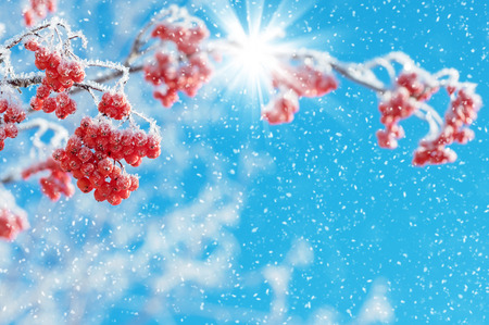 clusters: Mountain ash clusters in hoarfrost against the blue sky