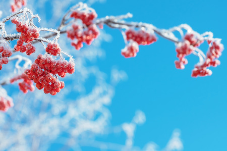 rowan tree: Mountain ash clusters in hoarfrost against the blue sky