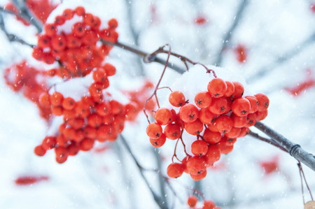 ripened: Clusters of the bright ripened mountain ash under snow