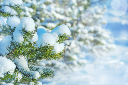 Winter landscape with branches of a snow-covered coniferous tree