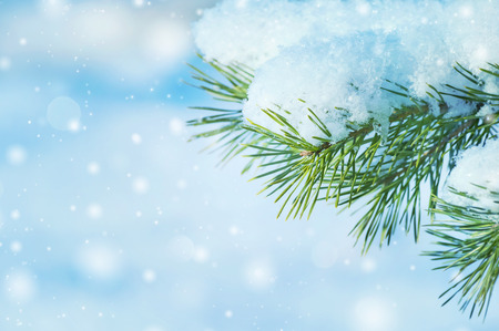 snow tree: Winter natural background with a snow-covered pine branch Stock Photo