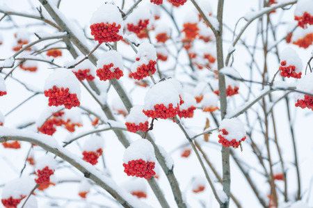 red mountain: Winter landscape with bright red mountain ash under snow