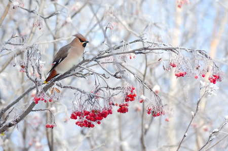 霜のナナカマドの枝に座ってワックスウィング鳥 写真素材