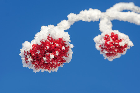 clusters: Rowan clusters in hoarfrost against the blue sky