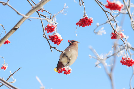 Bird waxwing eats frozen rowan on background of sky Foto de archivo