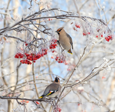 Two waxwings sitting on  branch of  mountain ash in the frost