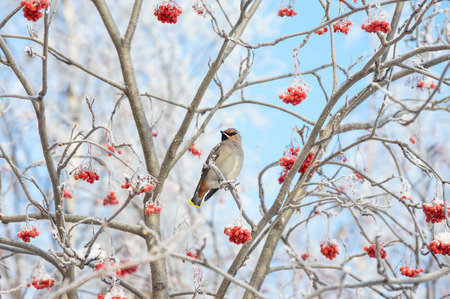 birds in tree: Bird waxwing sitting among the rowan in the frost Stock Photo